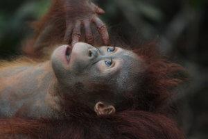Umweltproblem Palmöl: Orang Utan vom Aussterben bedroht